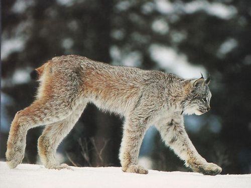 CanadianLynx_22-Walking_on_snow